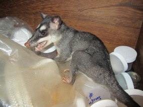 This little opossum was making a home in our storage drawer
