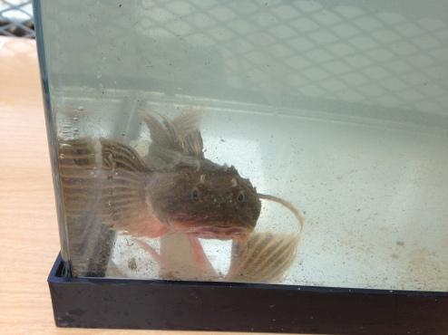 Sculpin in the kid's aquarium
