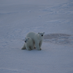 Polar bear babies! (Photo by Anika Happe)